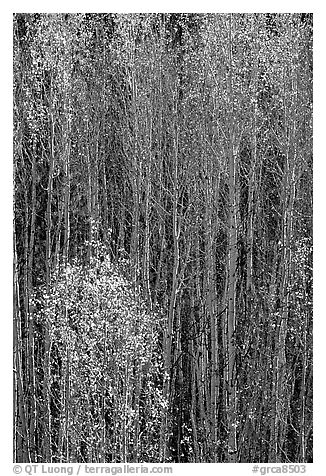 Tall aspens in autumn. Grand Canyon National Park (black and white)