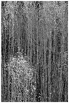 Tall aspens in autumn. Grand Canyon National Park ( black and white)