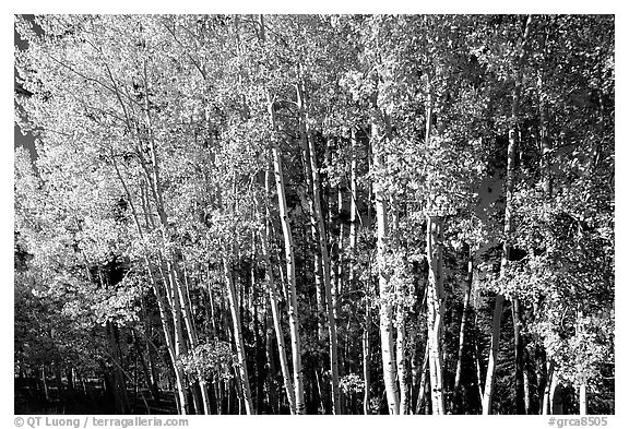 Aspens in  fall. Grand Canyon National Park (black and white)