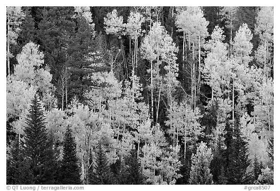 Aspens and evergreens on hillside, North Rim. Grand Canyon National Park (black and white)