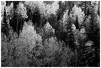Backlit Aspen forest in autumn foliage on hillside, North Rim. Grand Canyon National Park ( black and white)