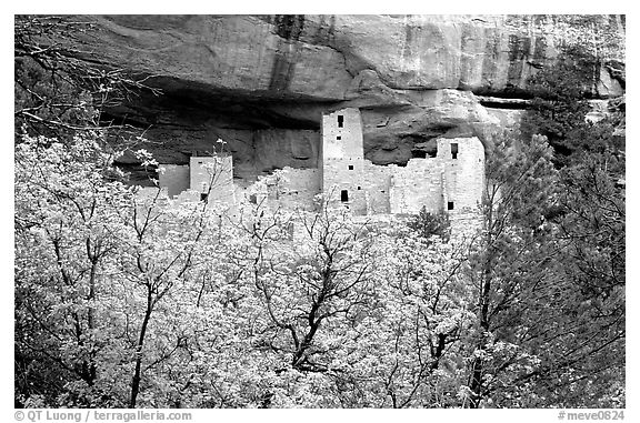 Trees and Cliff Palace, morning. Mesa Verde National Park (black and white)