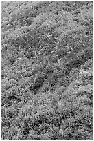 Burned slope with shrub-steppe plants in fall colors. Mesa Verde National Park, Colorado, USA. (black and white)