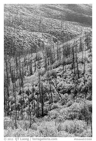 Burned forest and vividly colored shurbs in autumn. Mesa Verde National Park (black and white)
