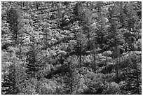 Slope with pine trees and shurbs in autumn foliage. Mesa Verde National Park ( black and white)