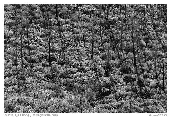 Slope with burned trees, shadows, and shurbs in autumn foliage. Mesa Verde National Park (black and white)