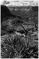 Yucca on canyon rim, Wetherill Mesa. Mesa Verde National Park ( black and white)