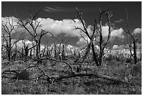 Burned forest, Wetherill Mesa. Mesa Verde National Park ( black and white)