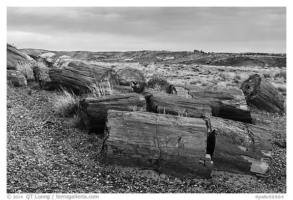 Last light illuminates large petrified wood logs, Crystal Forest. Petrified Forest National Park (black and white)