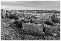 Last light illuminates large petrified wood logs, Crystal Forest. Petrified Forest National Park ( black and white)