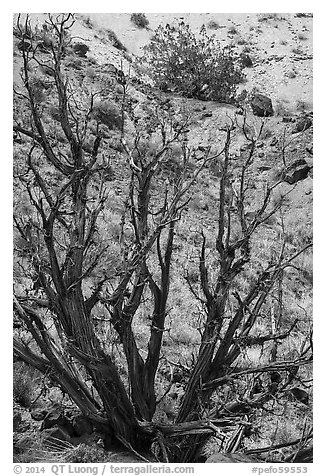 Juniper trees on slope. Petrified Forest National Park (black and white)