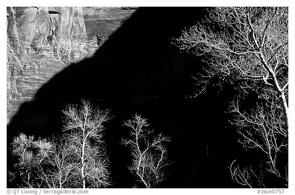 Bare cottonwoods and shadows in Zion Canyon. Zion National Park (black and white)