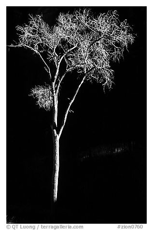 Spotlighted bare cottonwood, Zion Canyon. Zion National Park (black and white)
