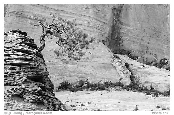 Lone pine on sandstone swirl and cliff, Zion Plateau. Zion National Park (black and white)