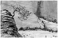 Lone pine on sandstone swirl and cliff, Zion Plateau. Zion National Park, Utah, USA. (black and white)