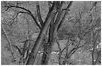 Cottonwood trees in winter, Zion Canyon. Zion National Park, Utah, USA. (black and white)