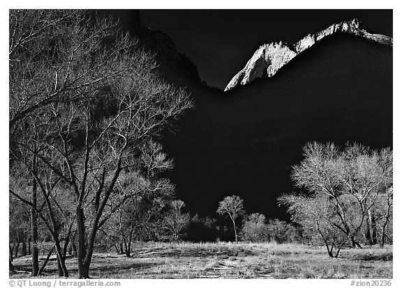 Bare cottonwoods and shadows near Zion Lodge. Zion National Park (black and white)
