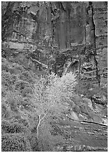 Yellow bright tree and red cliffs. Zion National Park, Utah, USA. (black and white)