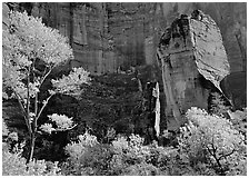 Tree in autumn foliage and the Pulpit, temple of Sinawava. Zion National Park, Utah, USA. (black and white)