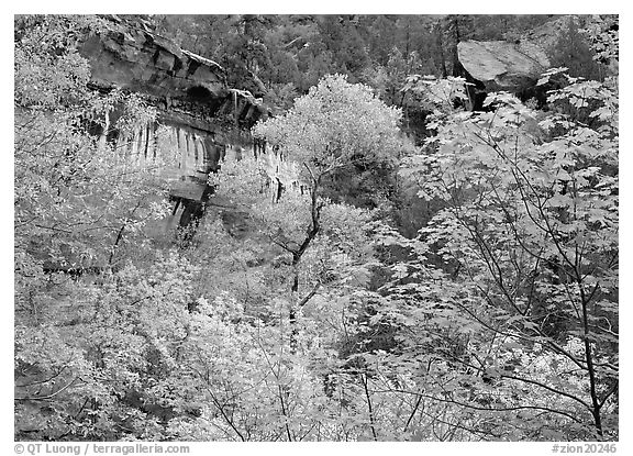 Cliff, waterfall, and trees in fall colors, near  first Emerald Pool. Zion National Park (black and white)
