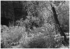 Backlit trees and shrubs in autumn. Zion National Park ( black and white)