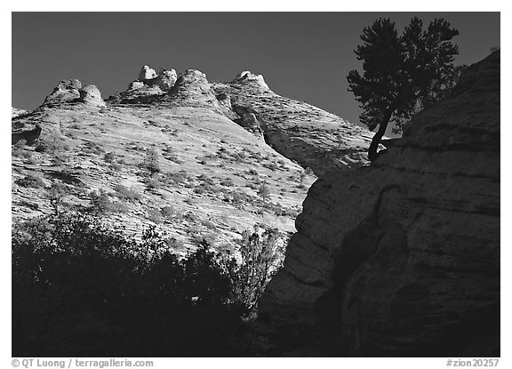 Pine and hoodoos near Canyon View, early morning. Zion National Park (black and white)