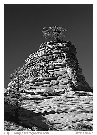 Moon and pine on red sandstone, Zion Plateau. Zion National Park (black and white)
