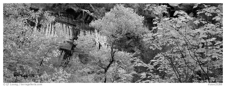 Fall colors and sandstone cliffs. Zion National Park (black and white)