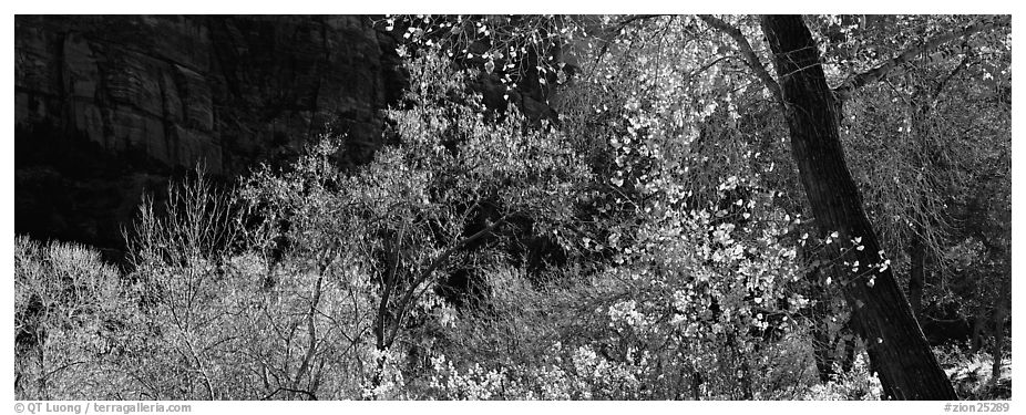 Autumn colors and cliffs. Zion National Park (black and white)