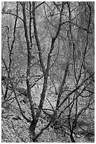 Bare tree tangle with a few leaves, Zion Canyon. Zion National Park ( black and white)