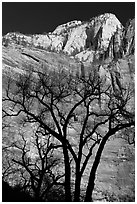 Bare trees and multicolored cliffs. Zion National Park, Utah, USA. (black and white)