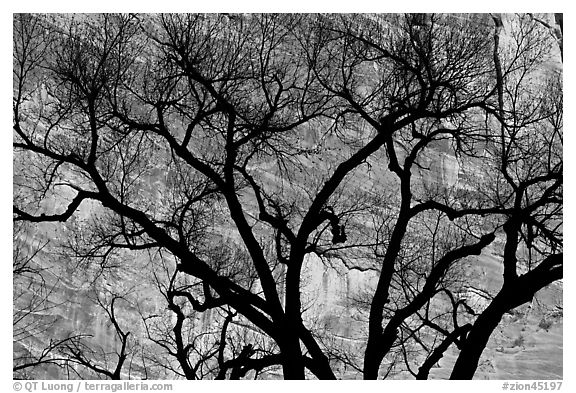 Dendritic pattern of tree branches against red cliffs. Zion National Park (black and white)