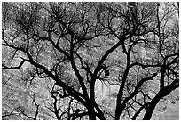 Dendritic pattern of tree branches against red cliffs. Zion National Park, Utah, USA. (black and white)