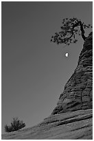 Bush, half-moon, and pine tree, twilight. Zion National Park, Utah, USA. (black and white)