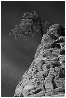 Tree growing out of twisted sandstone, Zion Plateau. Zion National Park ( black and white)