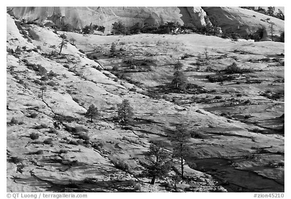 Trees growing out of sandstone slabs, Zion Plateau. Zion National Park (black and white)