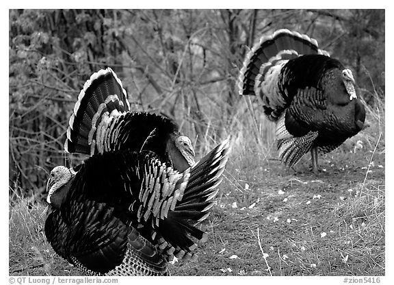 Wild Turkeys. Zion National Park (black and white)
