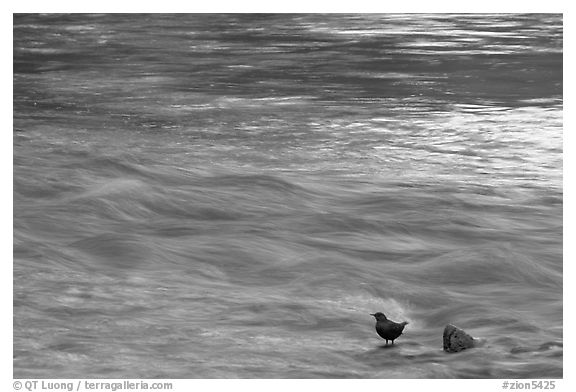 Bird, water flowing, reflections from cliffs. Zion National Park (black and white)