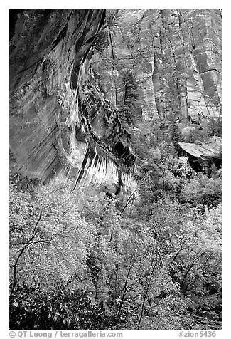 Rock wall and trees in fall colors, near the first Emerald Pool. Zion National Park (black and white)