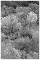 Trees in fall colors in a creek, Finger canyons of the Kolob. Zion National Park, Utah, USA. (black and white)