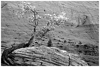 Pine tree and checkerboard patterns, Zion Plateau. Zion National Park, Utah, USA. (black and white)