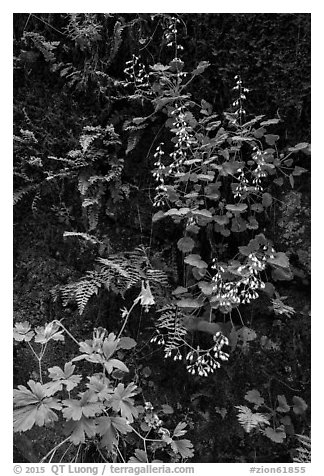 Wildflowers on Hidden Canyon wall. Zion National Park (black and white)