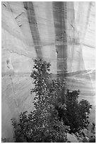 Trees and wall with desert varnish, Mystery Canyon. Zion National Park ( black and white)