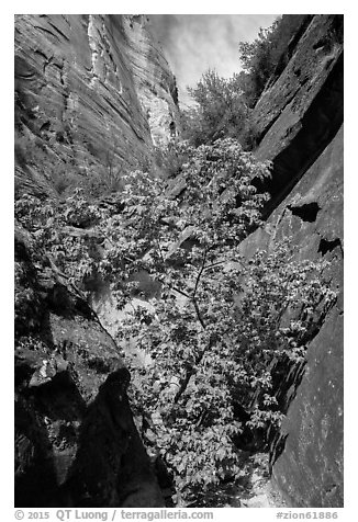 Young tree with green leaves in Mystery Canyon. Zion National Park (black and white)