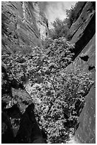 Young tree with green leaves in Mystery Canyon. Zion National Park ( black and white)