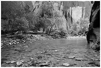Virgin River and trees in early summer. Zion National Park ( black and white)