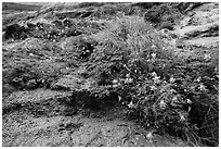 Looking up wildflowers on canyon wall. Zion National Park ( black and white)