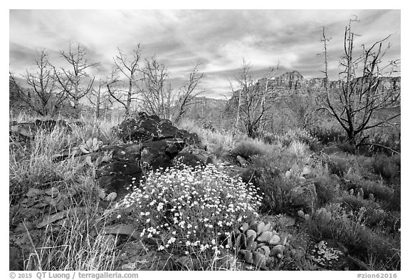 Wildflowers, cacti, and burned trees, Grapevine. Zion National Park (black and white)