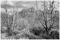 Wildflowers, burned trees, and cliffs, Grapevine. Zion National Park ( black and white)