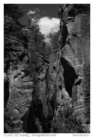 Looking upwards, Orderville Canyon. Zion National Park (black and white)
